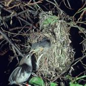 Chatham Island warbler. Adult female feeding chicks in nest. Chatham Islands. Image © Department of Conservation (image ref: 10047973) by Allan Munn, Department of Conservation Courtesy of Department of Conservation