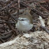 Chatham Island warbler. Adult male. Rangatira Island, Chatham Islands, October 2020. Image © James Russell by James Russell