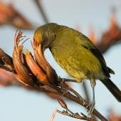Bellbird. Adult male feeding on flax nectar, with orange flax pollen in his forehead. Tiritiri Matangi Island, November 2007. Image © Neil Fitzgerald by Neil Fitzgerald www.neilfitzgeraldphoto.co.nz