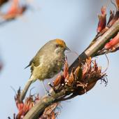 Bellbird. Adult female with orange flax pollen on her forehead. Tiritiri Matangi Island, November 2007. Image © Neil Fitzgerald by Neil Fitzgerald www.neilfitzgeraldphoto.co.nz