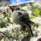 Bellbird. Juvenile fluffed up. Lake Rotoiti, October 2008. Image © Duncan Watson by Duncan Watson