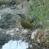 Bellbird. Immature male. Burgess Island, Near Mokohinau Islands, February 2013. Image © Alan Tennyson by Alan Tennyson