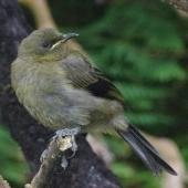 Bellbird. Juvenile. Rose Island, Auckland Islands, January 2018. Image © Colin Miskelly by Colin Miskelly