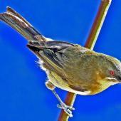 Bellbird. Dorsal view of adult female. Havelock North, October 2008. Image © Dick Porter by Dick Porter