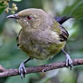 Bellbird. Juvenile male. Havelock North, February 2011. Image © Dick Porter by Dick Porter