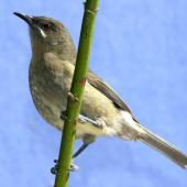 Bellbird. Adult female. Havelock North, October 2008. Image © Dick Porter by Dick Porter