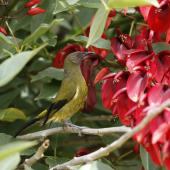 Bellbird. Male at flowers. Homedale, Wainuiomata, Wellington, February 2012. Image © Brian Murphy by Brian murphy
