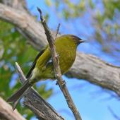 Bellbird. Adult male. Karaka Point, Picton, June 2010. Image © Peter Frost by Peter Frost