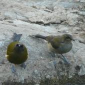 Bellbird. Juvenile (right) with adult male. Burgess Island, Mokohinau Islands, February 2013. Image © Alan Tennyson by Alan Tennyson