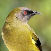 Bellbird. Adult male. Havelock North, Hawke's Bay, March 2010. Image © Dick Porter by Dick Porter