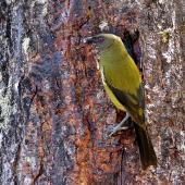 Bellbird. Adult male eating beech sap. Arthur's Pass, January 2007. Image © John Flux by John Flux