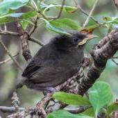 Bellbird. Fledgling. Ulva Island, November 2012. Image © Leon Berard by Leon Berard