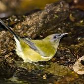 Bellbird. Adult male drinking. Little Barrier Island, March 2009. Image © Art Polkanov by Art Polkanov