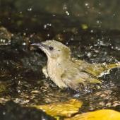 Bellbird. Adult female bathing. Little Barrier Island, April 2010. Image © Art Polkanov by Art Polkanov