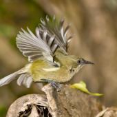 Bellbird. Adult female taking off. Little Barrier Island, March 2009. Image © Art Polkanov by Art Polkanov