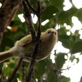 Bellbird. Leucistic female. Auckland Island, Auckland Islands, November 2009. Image © Kate Beer by Kate Beer