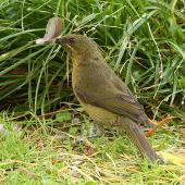 Bellbird. Adult female gathering feathers. Wanganui, December 2011. Image © Ormond Torr by Ormond Torr