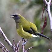 Bellbird. Adult male singing. Atawhai,  Nelson, July 2015. Image © Rebecca Bowater by Rebecca Bowater FPSNZ AFIAP www.floraandfauna.co.nz