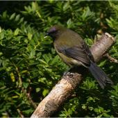 Bellbird. Adult male. Kundy Island, Stewart Island, March 2011. Image © Colin Miskelly by Colin Miskelly