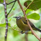 Bellbird. Male with aberrant white feathering on head. Tiritiri Matangi Island, September 2015. Image © Edin Whitehead by Edin Whitehead www.edinz.com