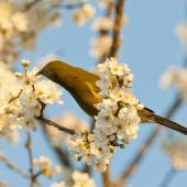Bellbird. Male feeding on plum blossom nectar. Owhango, Ruapehu, August 2012. Image © Malcolm Pullman by Malcolm Pullman www.pullmanpix.kiwi.nz