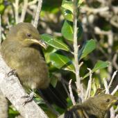 Bellbird. Juvenile Poor Knights Islands bellbird. Aorangi Island, Poor Knights Islands, December 2011. Image © Alan Tennyson by Alan Tennyson