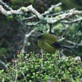 Bellbird. Adult male. Enderby Island,  Auckland Islands, November 1978. Image © Department of Conservation (image ref: 10045253) by John Kendrick, Department of Conservation Courtesy of Department of Conservation