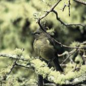 Bellbird.  Adult female. Enderby Island,  Auckland Islands. Image © Department of Conservation (image ref: 10064681) by Nadine Gibbs, Department of Conservation Courtesy of Department of Conservation