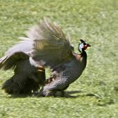 Helmeted guineafowl. Two birds fighting in captivity. Katikati, November 2011. Image © Raewyn Adams by Raewyn Adams