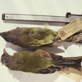 Chatham Island bellbird. Auckland Museum specimens. Chatham Islands. Image © Alan Tennyson & the Auckland Museum by Alan Tennyson Alan Tennyson