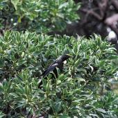 Tui. Chatham Island tui on ngaio. Rangatira Island, Chatham Islands, November 1981. Image © Department of Conservation by Dave Crouchley Courtesy of Department of Conservation