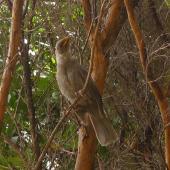 Tui. Leucistic fledgling (aberrant plumage). Bush City, Te Papa, Wellington, December 2012. Image © Te Papa by Leon Perrie