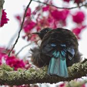 Tui. Adult with feathers fluffed out showing tail. Te Puke, August 2011. Image © Raewyn Adams by Raewyn Adams
