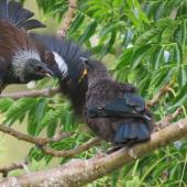 Tui. Adult flying in to feed fledgling. Judgeford, Porirua, December 2013. Image © Vance McIndoe by Vance McIndoe