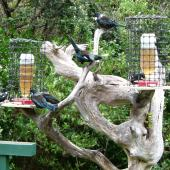 Tui. Flock at a feeders. Tiritiri Matangi Island, April 2012. Image © Joke Baars by Joke Baars