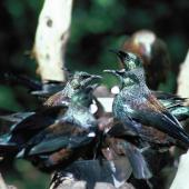 Tui. Adults at sugar water feeder. Little Barrier Island, March 1987. Image © Alan Tennyson by Alan Tennyson