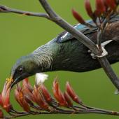 Tui. Adult feeding on flax nectar, showing pollen rubbing onto forehead. Dunedin, December 2008. Image © Craig McKenzie by Craig McKenzie
