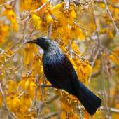 Tui. Adult feeding on kowhai nectar. Taupo, November 2010. Image © Albert Aanensen by Albert Aanensen