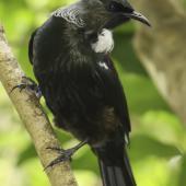 Tui. Adult female. Tiritiri Matangi Island, April 2009. Image © Dylan van Winkel by Dylan van Winkel
