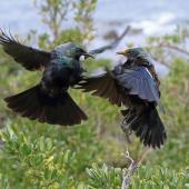 Tui. Two adults in dispute over flax flowers . Wellington south coast, November 2014. Image © David Brooks by David Brooks