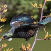 Tui. Adult flying between flax flower stems, with pollen on its head . Karori Sanctuary / Zealandia, December 2015. Image © David Brooks by David Brooks
