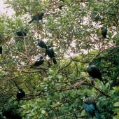 Tui. Flock perched in tree. Kapiti Island. Image © Department of Conservation (image ref: 10045831) by Greg Sherley, Department of Conservation Courtesy of Department of Conservation