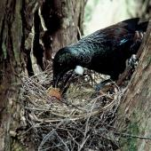 Tui. Adult at nest containing chicks. Taranga / Hen Island, November 1979. Image © Department of Conservation (image ref: 10045319) by Dick Veitch, Department of Conservation Courtesy of Department of Conservation