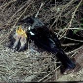 Tui. Adult at nest containing 3 chicks. Taranga / Hen Island, November 1978. Image © Department of Conservation (image ref: 10041246) by Dick Veitch, Department of Conservation Courtesy of Department of Conservation