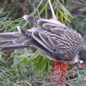 Red wattlebird. Adult feeding on a grevillea. Canberra, June 2016. Image © RM by RM