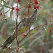 Red wattlebird. Adult feeding in a flowering gum tree. Canberra, Australia., September 2016. Image © RM by RM