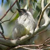 Red wattlebird.  Dependent young. Canberra, Australia., September 2016. Image © RM by RM