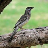 Red wattlebird. Adult (woodwardi subspecies) on branch. Perth, April 2014. Image © Duncan Watson by Duncan Watson