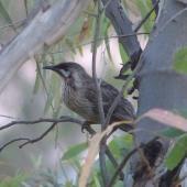 Red wattlebird. Adult. Quorn, South Australia, October 2013. Image © Alan Tennyson by Alan Tennyson