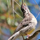 Red wattlebird. Adult singing. Blue Mountains,  New South Wales,  Australia, April 2015. Image © Imogen Warren by Imogen Warren